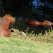 BIGGEST RODENT ON EARTH - 1.60 METER - 60 KG